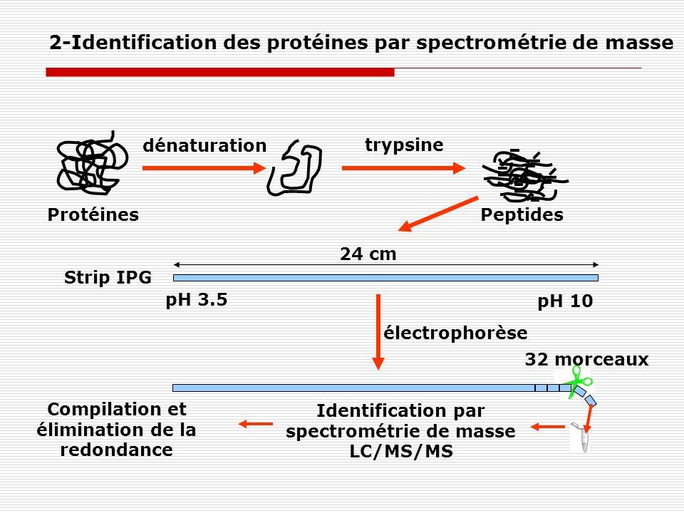 trypsine Protéines dénaturation Peptides pH 3.5 pH 10 24 cm 32 morceaux électrophorèse Identification par spectrométrie de masse LC/MS/MS Compilation