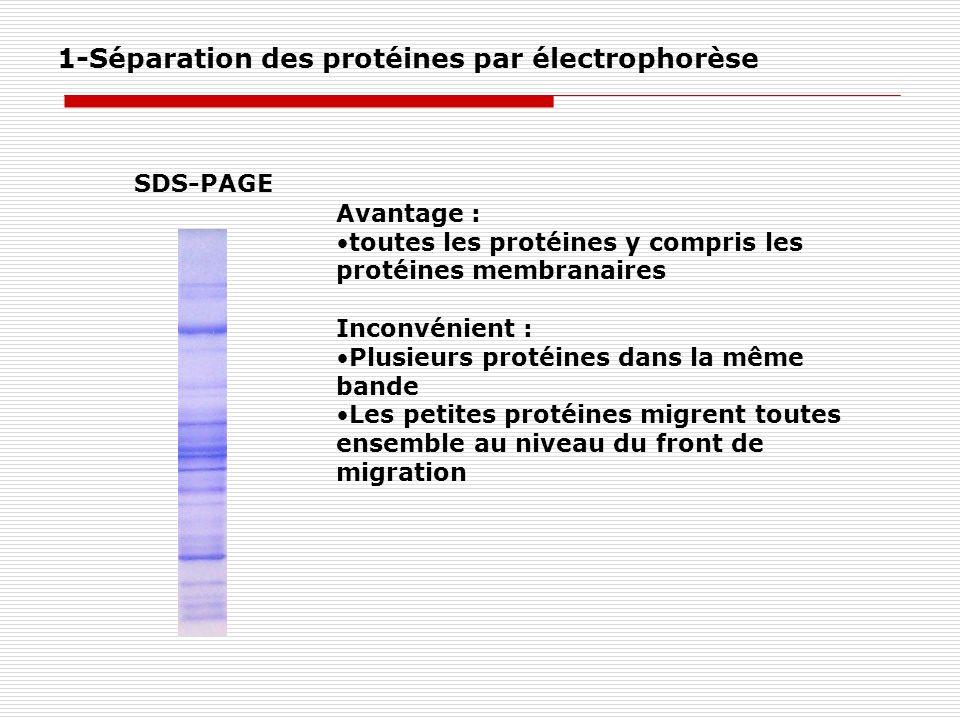 SDS-PAGE 1-Séparation des protéines par électrophorèse Avantage : toutes les protéines y compris les protéines membranaires Inconvénient : Plusieurs p
