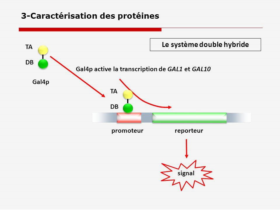 promoteurreporteur Gal4p TA DB TA DB signal Gal4p active la transcription de GAL1 et GAL10 Le système double hybride 3-Caractérisation des protéines