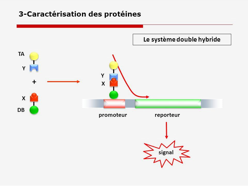 X Y promoteurreporteur X Y TA DB + signal Le système double hybride 3-Caractérisation des protéines