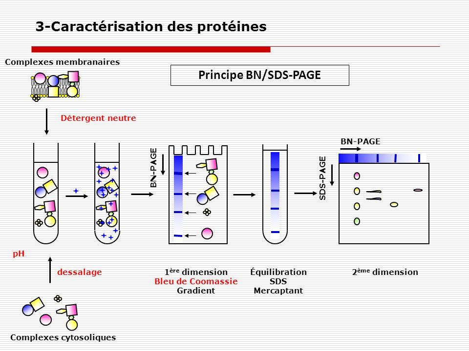 Principe BN/SDS-PAGE 3-Caractérisation des protéines