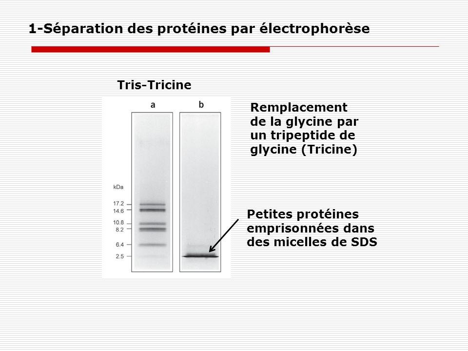 Petites protéines emprisonnées dans des micelles de SDS Remplacement de la glycine par un tripeptide de glycine (Tricine) Tris-Tricine 1-Séparation de