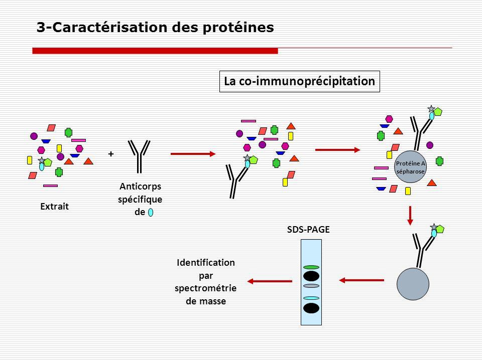 La co-immunoprécipitation Extrait Anticorps spécifique de + Protéine A sépharose Identification par spectrométrie de masse SDS-PAGE 3-Caractérisation