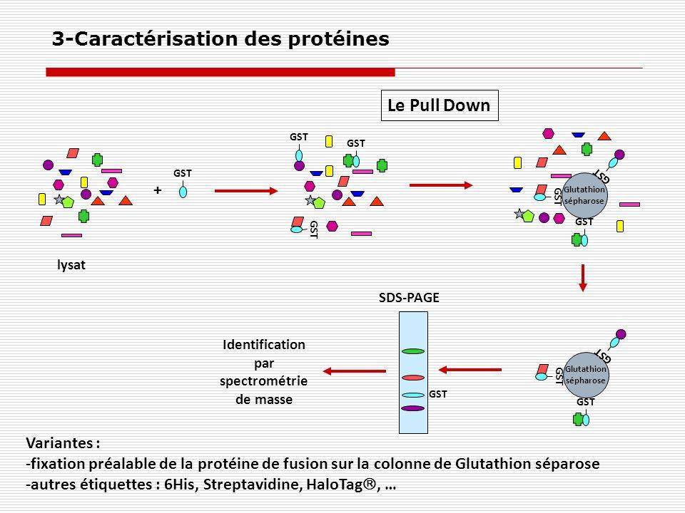 Le Pull Down lysat + GST Glutathion sépharose GST Identification par spectrométrie de masse SDS-PAGE Glutathion sépharose GST Variantes : -fixation pr