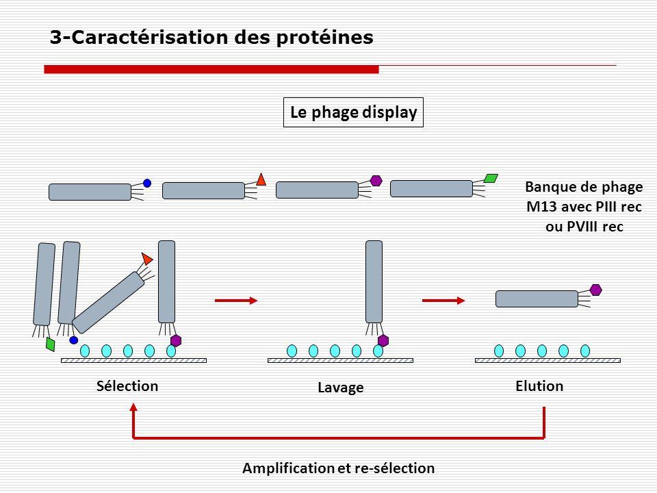Le phage display Banque de phage M13 avec PIII rec ou PVIII rec Sélection Lavage Elution Amplification et re-sélection 3-Caractérisation des protéines
