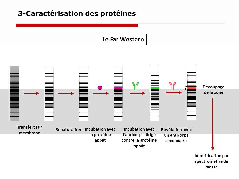 Le Far Western Transfert sur membrane Renaturation Incubation avec la protéine appât Incubation avec lanticorps dirigé contre la protéine appât Révéla