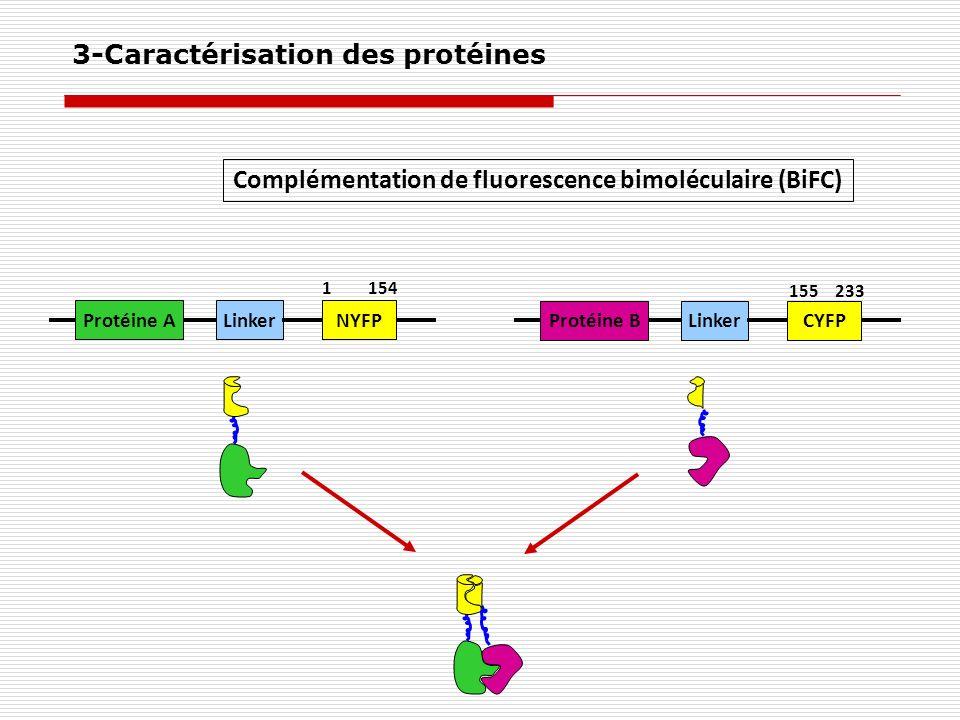 Complémentation de fluorescence bimoléculaire (BiFC) Protéine ALinkerNYFP 1154 Protéine BLinkerCYFP 155233 3-Caractérisation des protéines