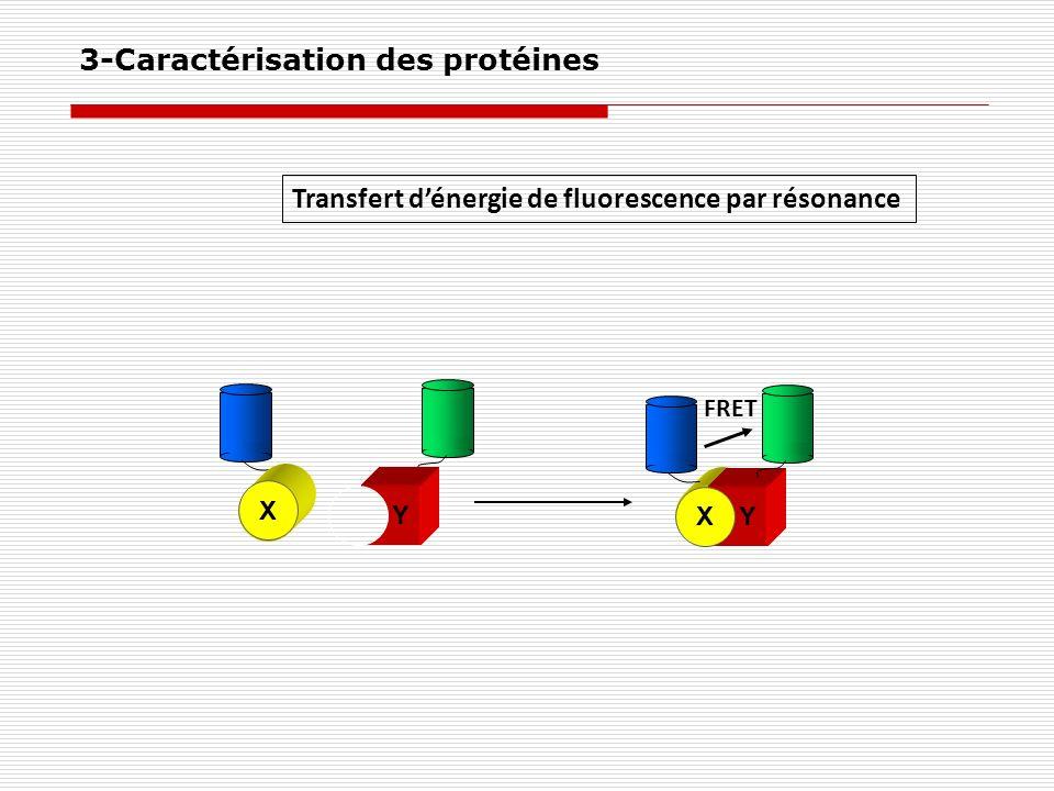 Transfert dénergie de fluorescence par résonance Y Y X FRET X 3-Caractérisation des protéines