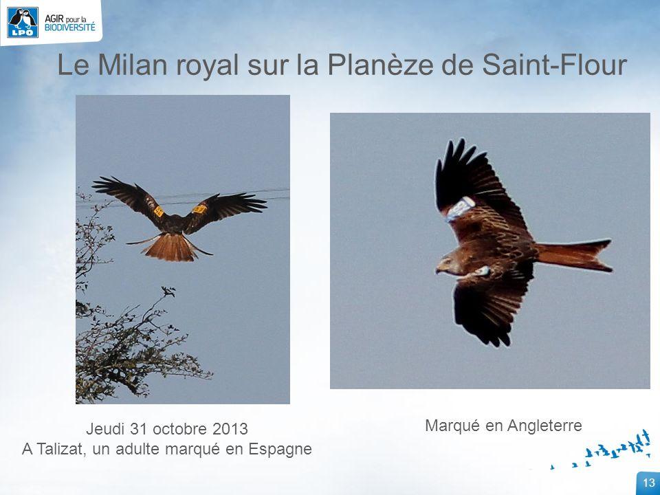 13 Jeudi 31 octobre 2013 A Talizat, un adulte marqué en Espagne Marqué en Angleterre Le Milan royal sur la Planèze de Saint-Flour
