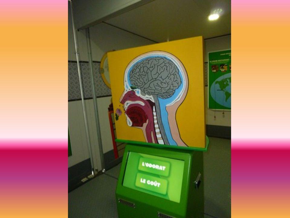 Cette maquette du cerveau nous montrait comment fonctionne lodorat.