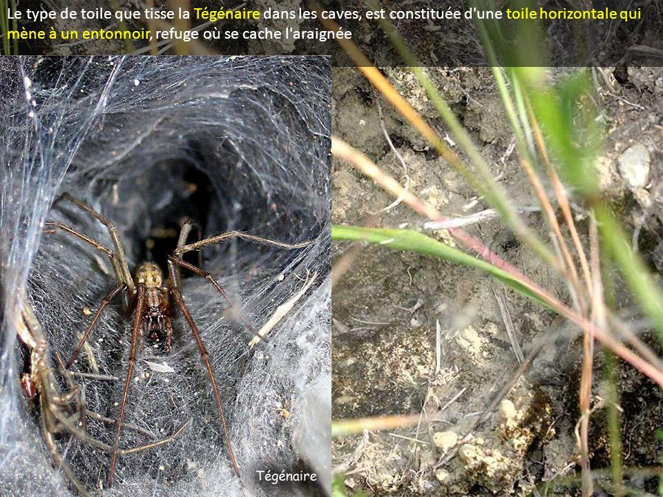 Le type de toile que tisse la Tégénaire dans les caves, est constituée d'une toile horizontale qui mène à un entonnoir, refuge où se cache l'araignée
