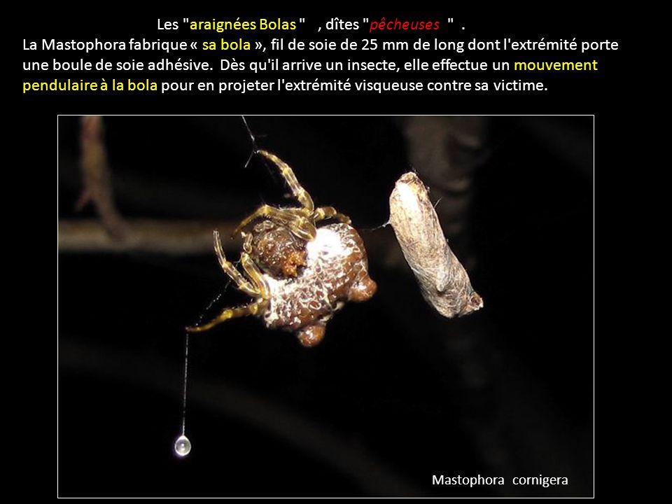Les araignées Bolas , dîtes pêcheuses .