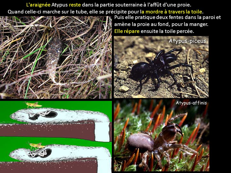 L'araignée Atypus reste dans la partie souterraine à l'affût d'une proie. Quand celle-ci marche sur le tube, elle se précipite pour la mordre à traver