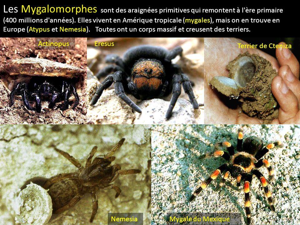 Les Mygalomorphes sont des araignées primitives qui remontent à l'ère primaire (400 millions d'années). Elles vivent en Amérique tropicale (mygales),