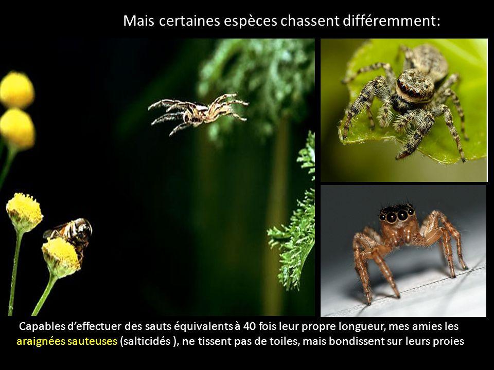 Mais certaines espèces chassent différemment: Capables deffectuer des sauts équivalents à 40 fois leur propre longueur, mes amies les araignées sauteu