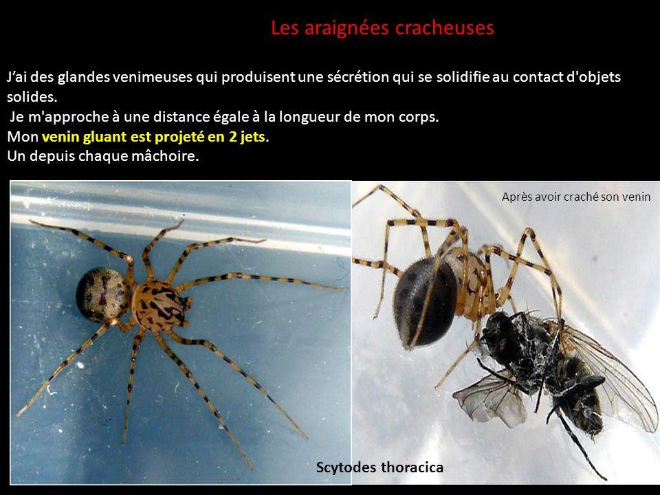 Les araignées cracheuses Jai des glandes venimeuses qui produisent une sécrétion qui se solidifie au contact d'objets solides. Je m'approche à une dis