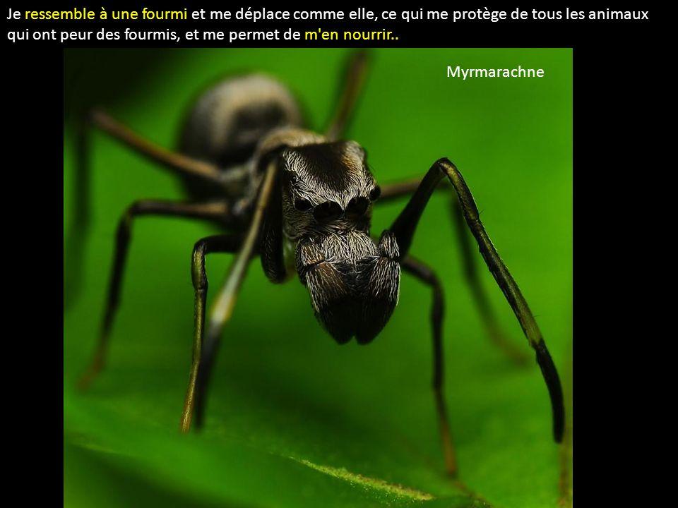 Je ressemble à une fourmi et me déplace comme elle, ce qui me protège de tous les animaux qui ont peur des fourmis, et me permet de m'en nourrir.. Myr