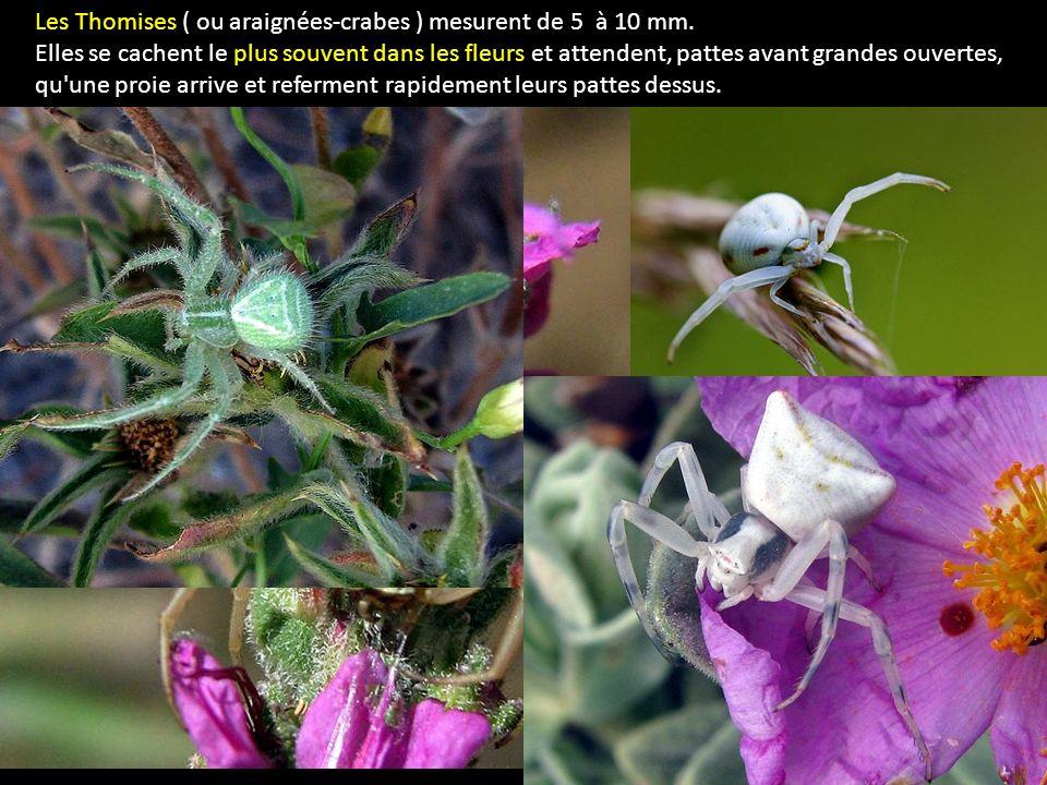 Les Thomises ( ou araignées-crabes ) mesurent de 5 à 10 mm. Elles se cachent le plus souvent dans les fleurs et attendent, pattes avant grandes ouvert