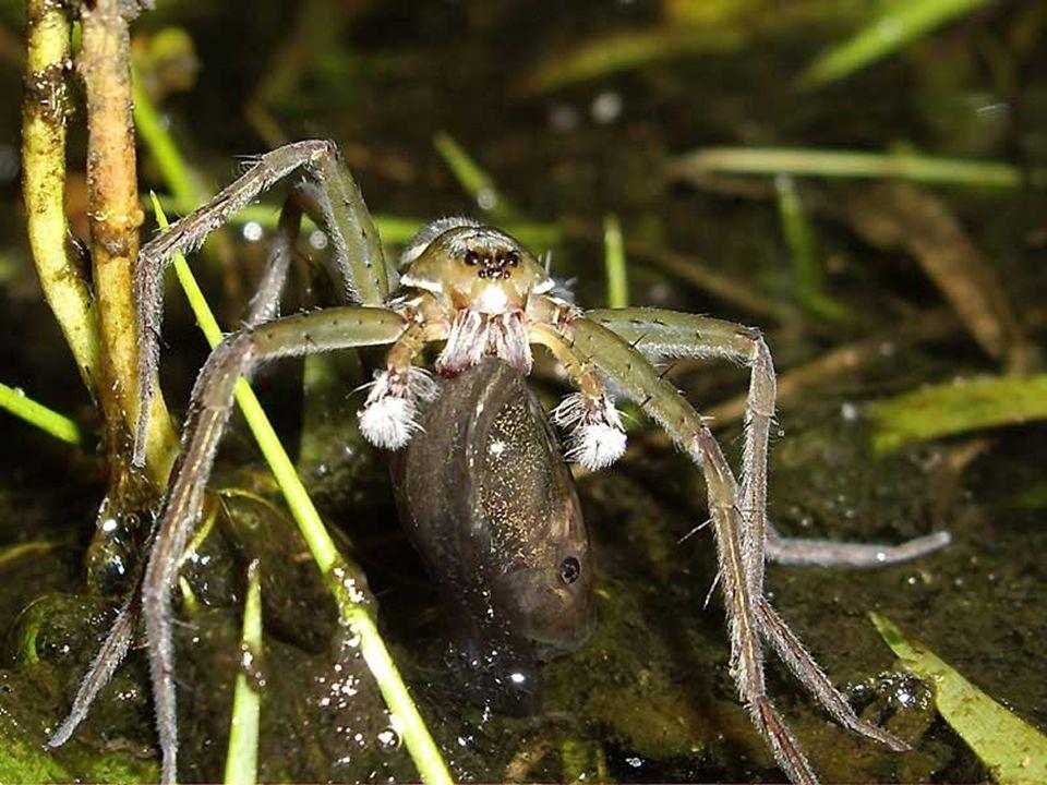 L'Argyronète est une araignée ayant la particularité de demeurer sous l'eau, dans une couche d'air créée par une toile qu'elle a liée sous l'eau et ac