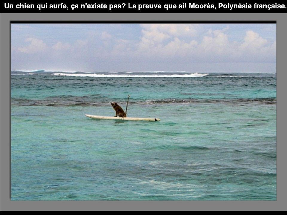 Un chien qui surfe, ça n existe pas? La preuve que si! Mooréa, Polynésie française.