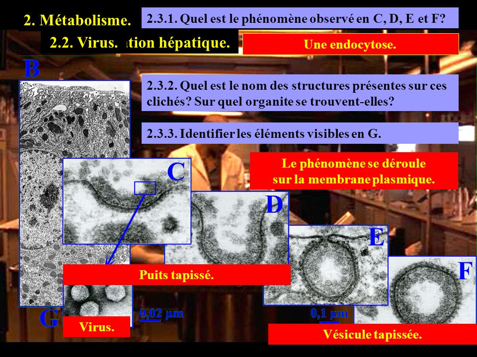 2.3.1. Quel est le phénomène observé en C, D, E et F? 2. Métabolisme. 2.3. Exploration hépatique.2.2. Virus. Une endocytose. 2.3.2. Quel est le nom de