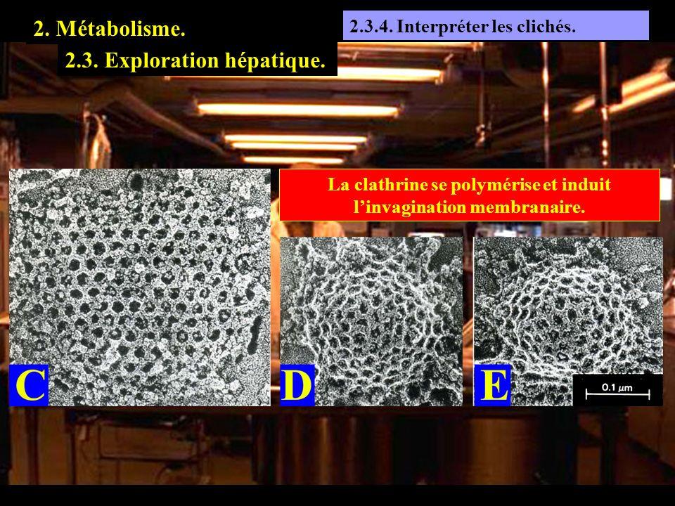 2.3.4 2.3.4. Interpréter les clichés. 2. Métabolisme. 2.3. Exploration hépatique. La clathrine se polymérise et induit linvagination membranaire.