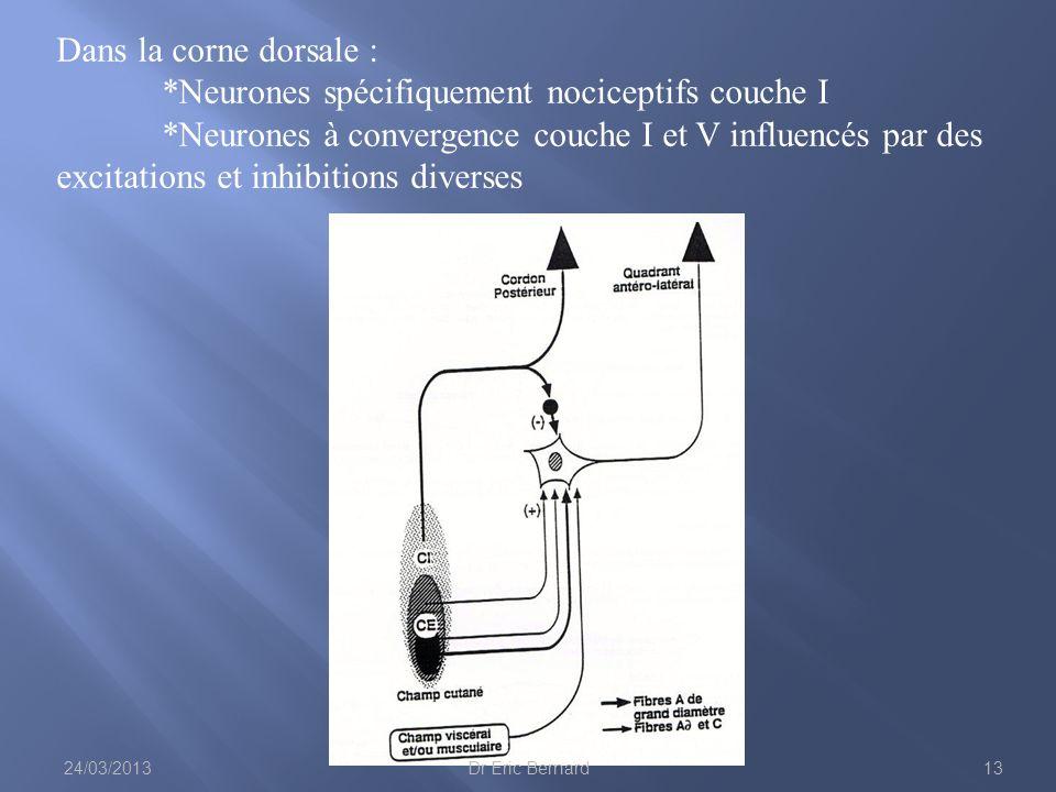 Dans la corne dorsale : *Neurones spécifiquement nociceptifs couche I *Neurones à convergence couche I et V influencés par des excitations et inhibiti