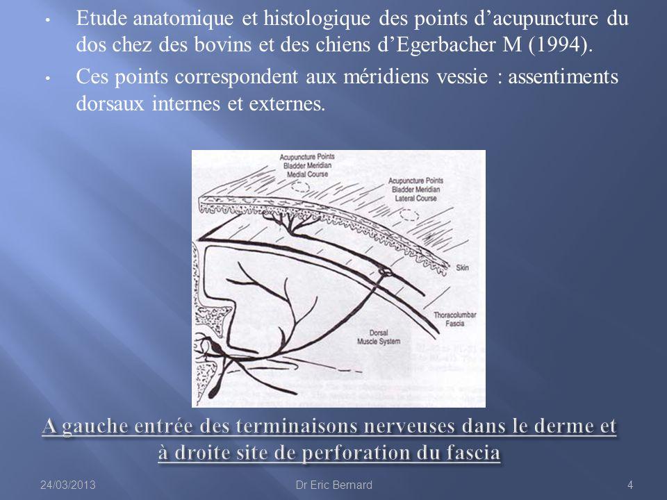 Etude anatomique et histologique des points dacupuncture du dos chez des bovins et des chiens dEgerbacher M (1994). Ces points correspondent aux mérid