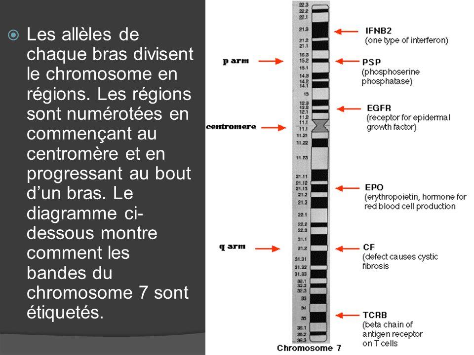Les allèles de chaque bras divisent le chromosome en régions. Les régions sont numérotées en commençant au centromère et en progressant au bout dun br