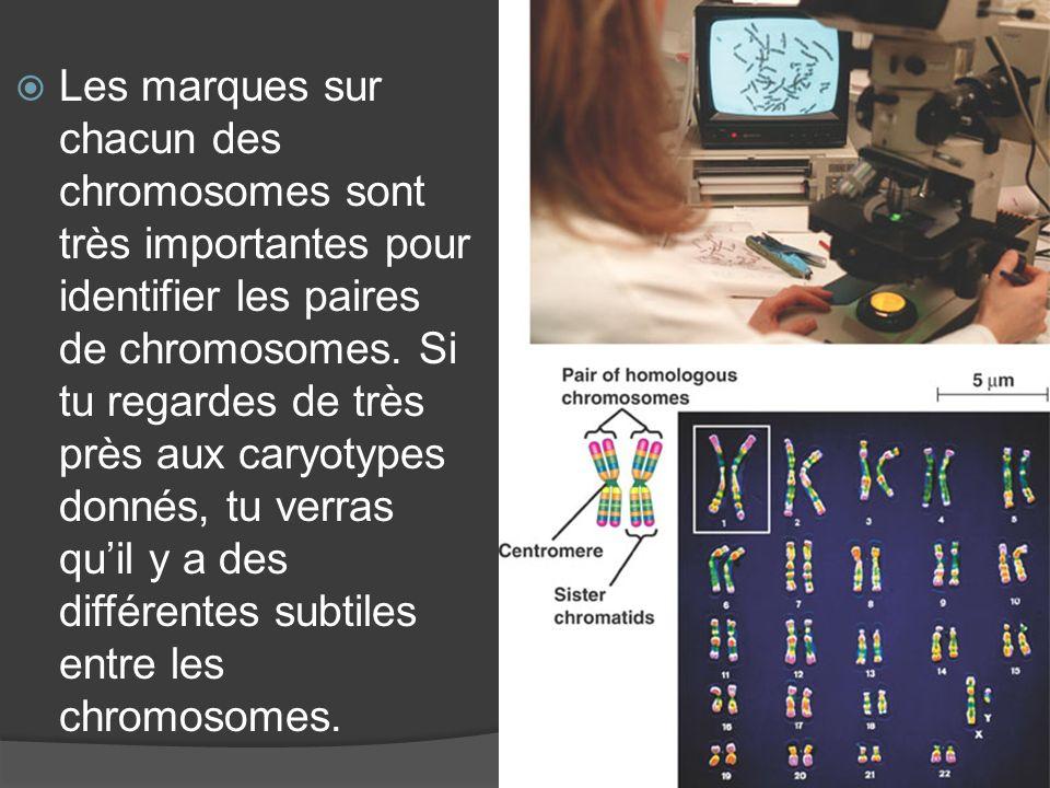 Les marques sur chacun des chromosomes sont très importantes pour identifier les paires de chromosomes. Si tu regardes de très près aux caryotypes don