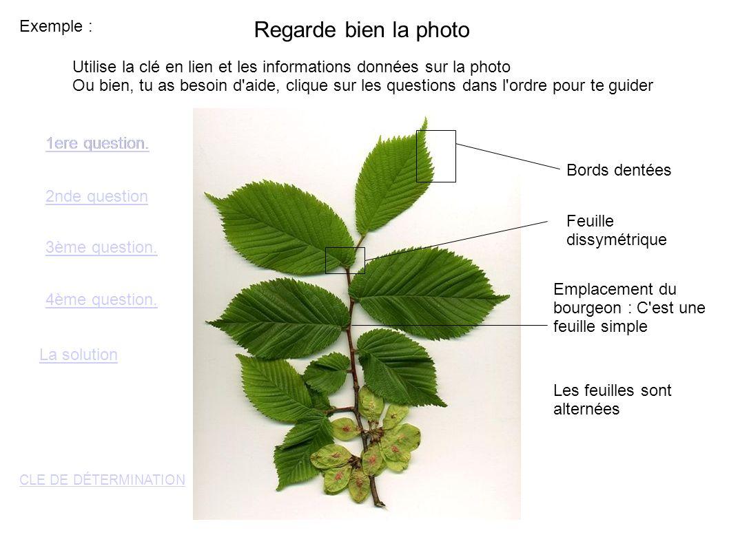 Exemple : Regarde bien la photo Emplacement du bourgeon : C est une feuille simple Les feuilles sont alternées Bords dentées Feuille dissymétrique 1ere question.