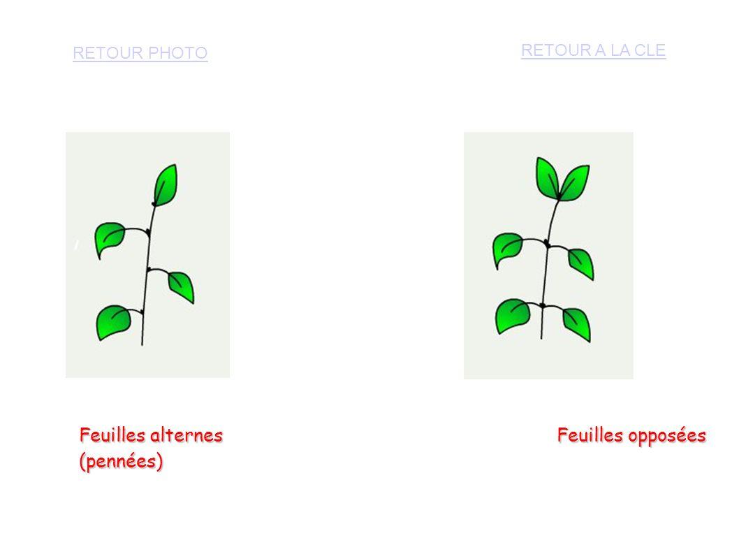 Troisième question à poser : Comment sont les bords des feuilles .