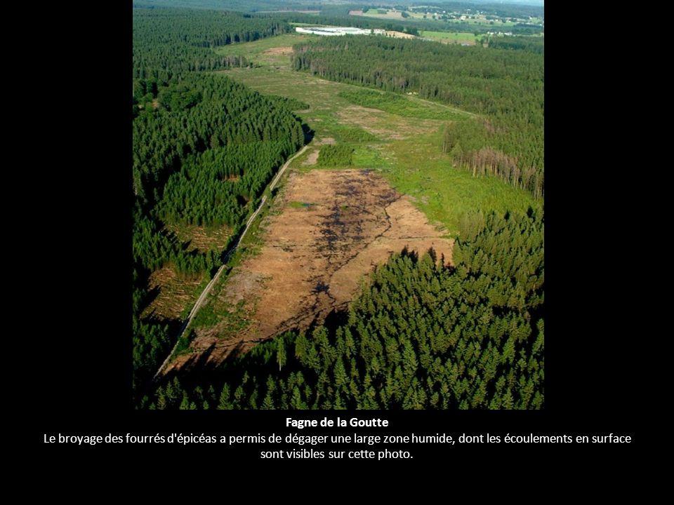 Fagne de la Goutte Le broyage des fourrés d'épicéas a permis de dégager une large zone humide, dont les écoulements en surface sont visibles sur cette