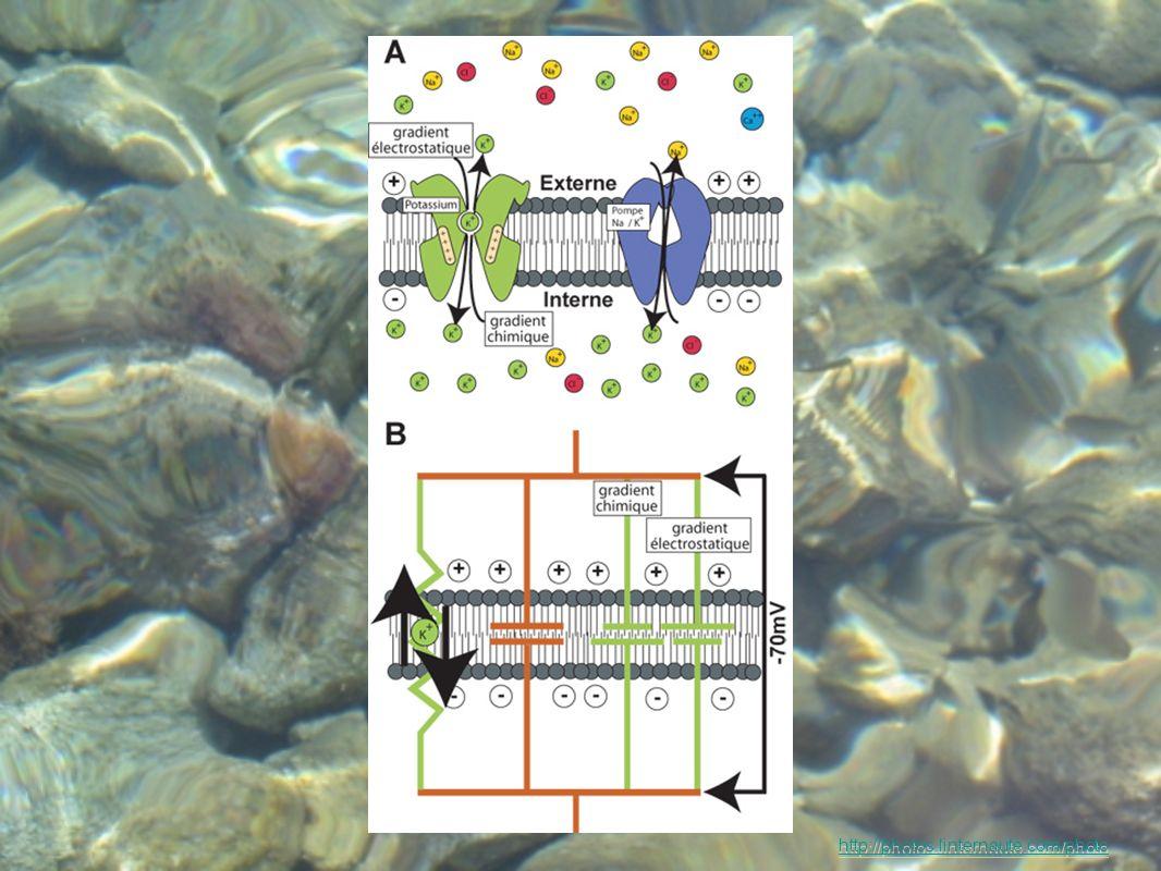 Apport Physiologique : le but recherché est laction catalytique pour relancer ou réguler les processus biologiques cellulaires Effet de synergie constamment recherché Forme hautement assimilable http://photos.linternaute.com/photo En MICRONUTRITION