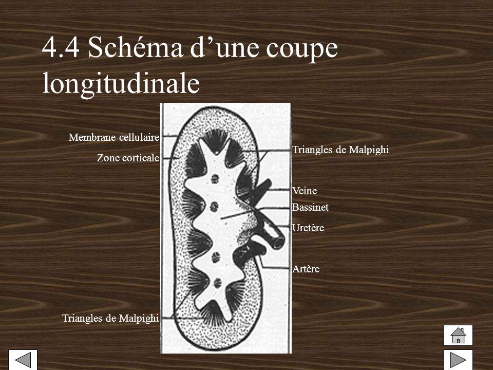 4.4 Schéma dune coupe longitudinale Membrane cellulaire Zone corticale Triangles de Malpighi Veine Bassinet Artère Uretère