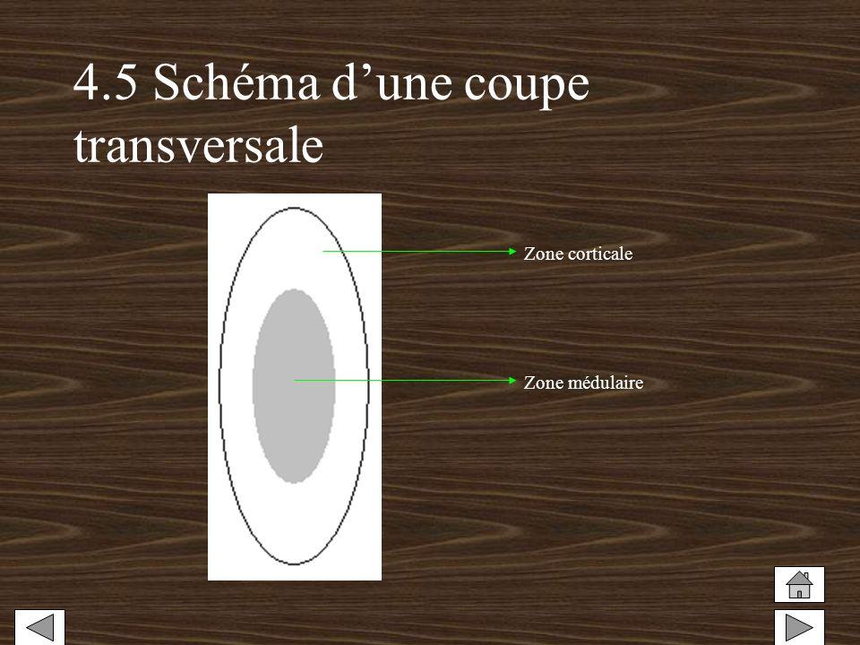 4.5 Schéma dune coupe transversale Zone corticale Zone médulaire