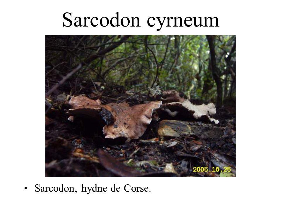 Hydnum rufescens Pied de mouton rougissant. Nom corse: pecurinu, scupinu.