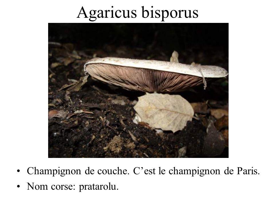 Agaricus arvensis Boule de neige. Nom corse: pratarolu.