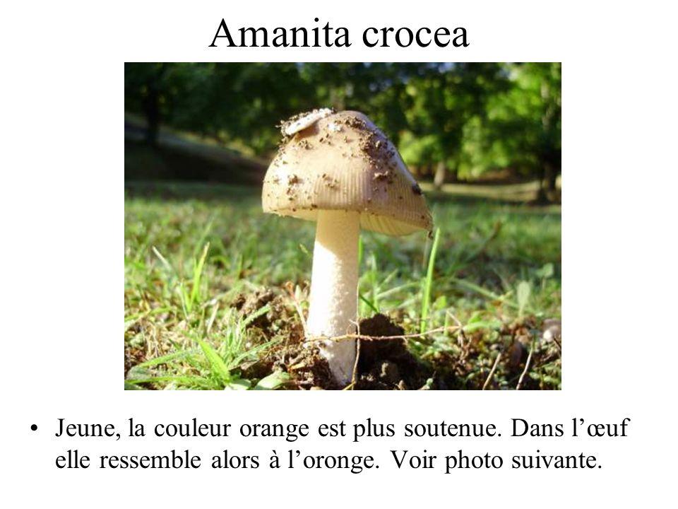 Amanita rubescens Amanite rougissante, amanite vineuse, oronge vineuse.