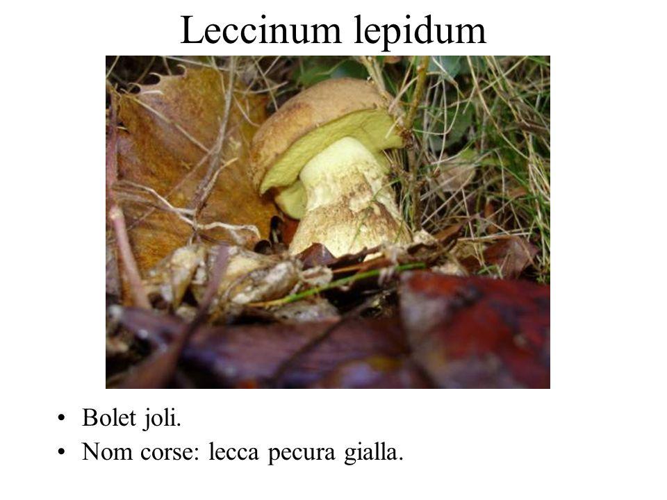 Leccinum corsicum Bolet de Corse. Nom corse: Sprignolu, mucchjnu, mucchjagghjolu.