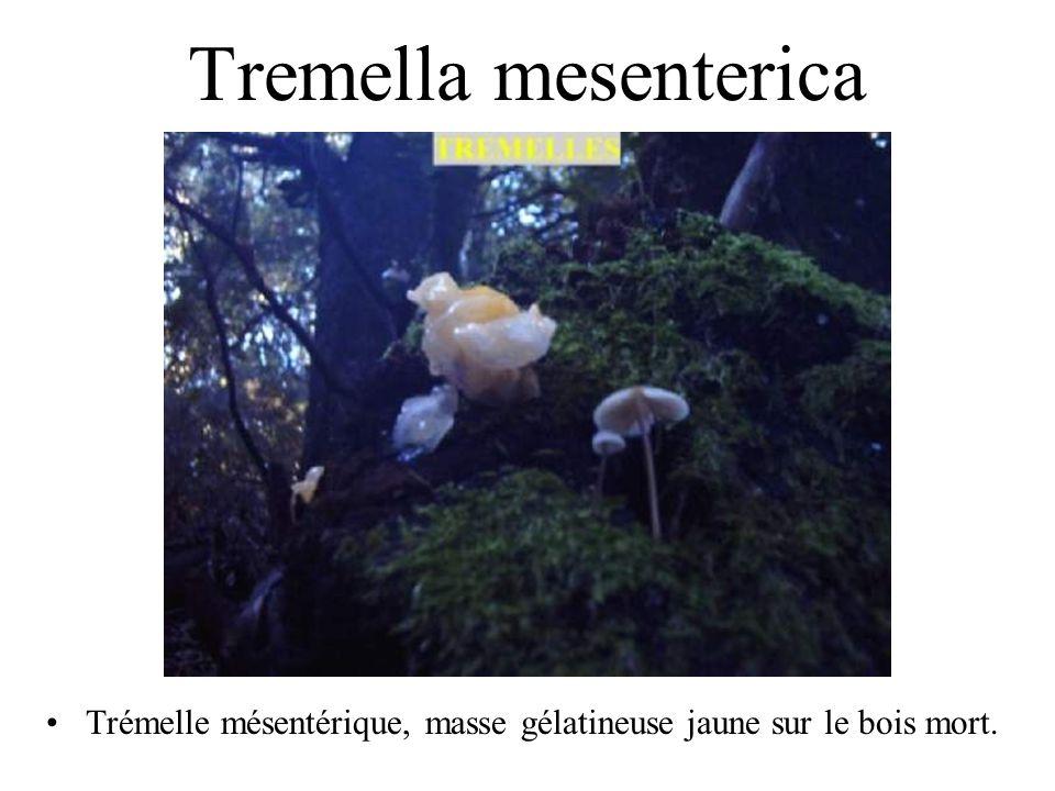 Fistulina hepatica Langue de bœuf. Nom corse: lingua.