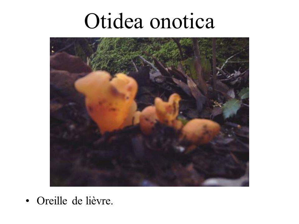 Tremella mesenterica Trémelle mésentérique, masse gélatineuse jaune sur le bois mort.
