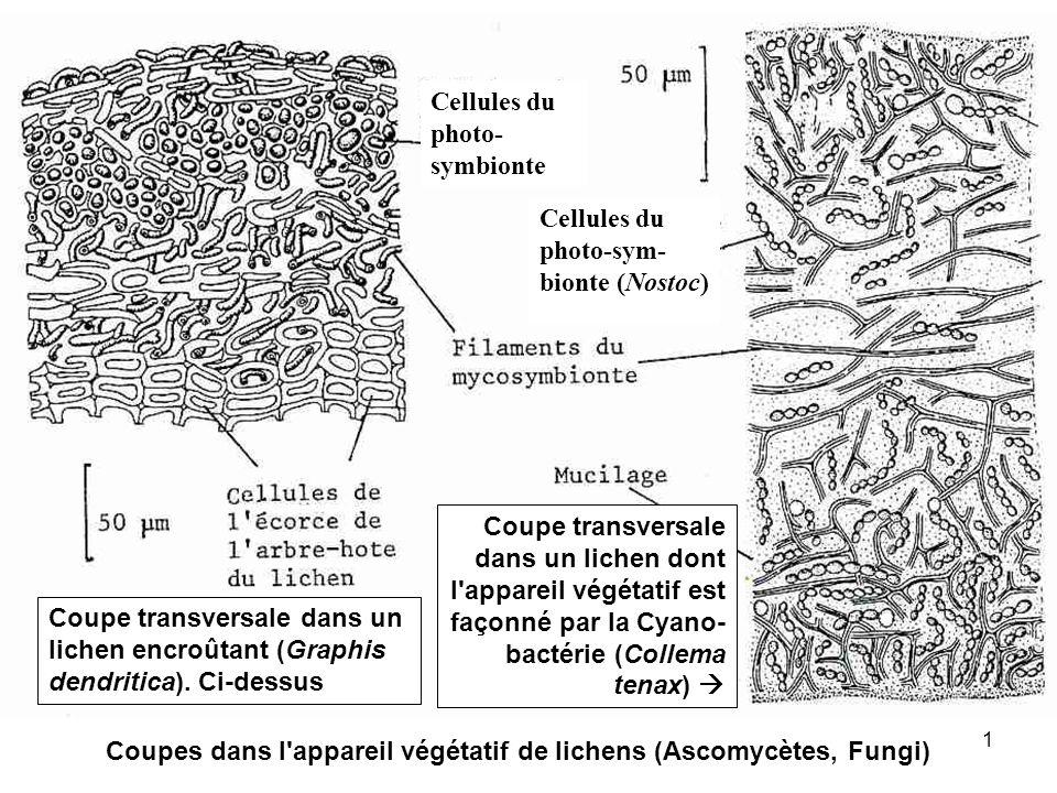 1 Coupe transversale dans un lichen encroûtant (Graphis dendritica). Ci-dessus Coupe transversale dans un lichen dont l'appareil végétatif est façonné