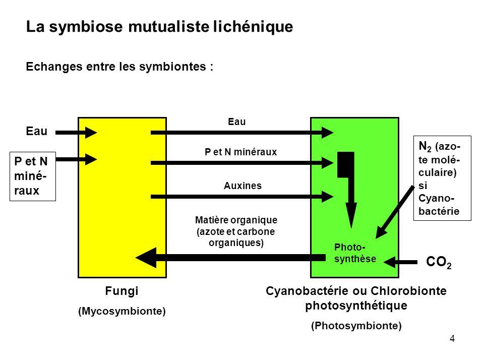 4 La symbiose mutualiste lichénique Echanges entre les symbiontes : Fungi (Mycosymbionte) Cyanobactérie ou Chlorobionte photosynthétique (Photosymbion