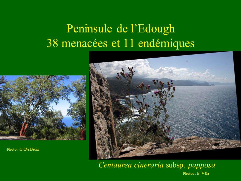 Peninsule de lEdough 38 menacées et 11 endémiques Photos : E. Véla Centaurea cineraria subsp. papposa Photo : G. De Belair