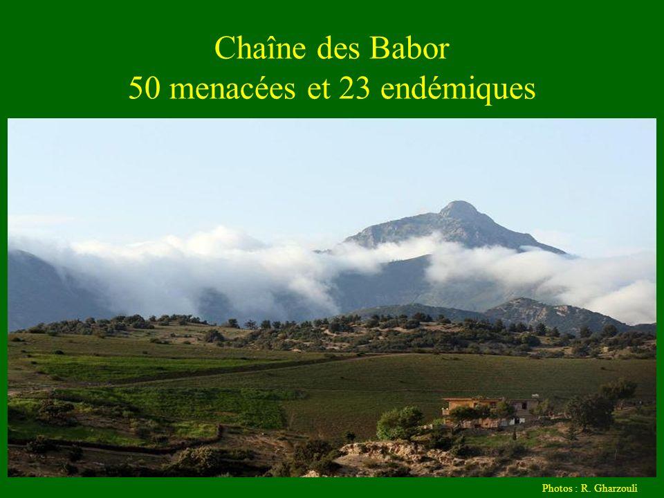 Chaîne des Babor 50 menacées et 23 endémiques Photos : R. Gharzouli
