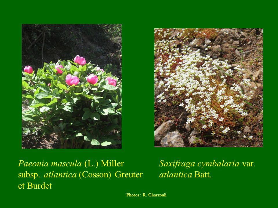 Paeonia mascula (L.) Miller subsp. atlantica (Cosson) Greuter et Burdet Saxifraga cymbalaria var. atlantica Batt. Photos : R. Gharzouli