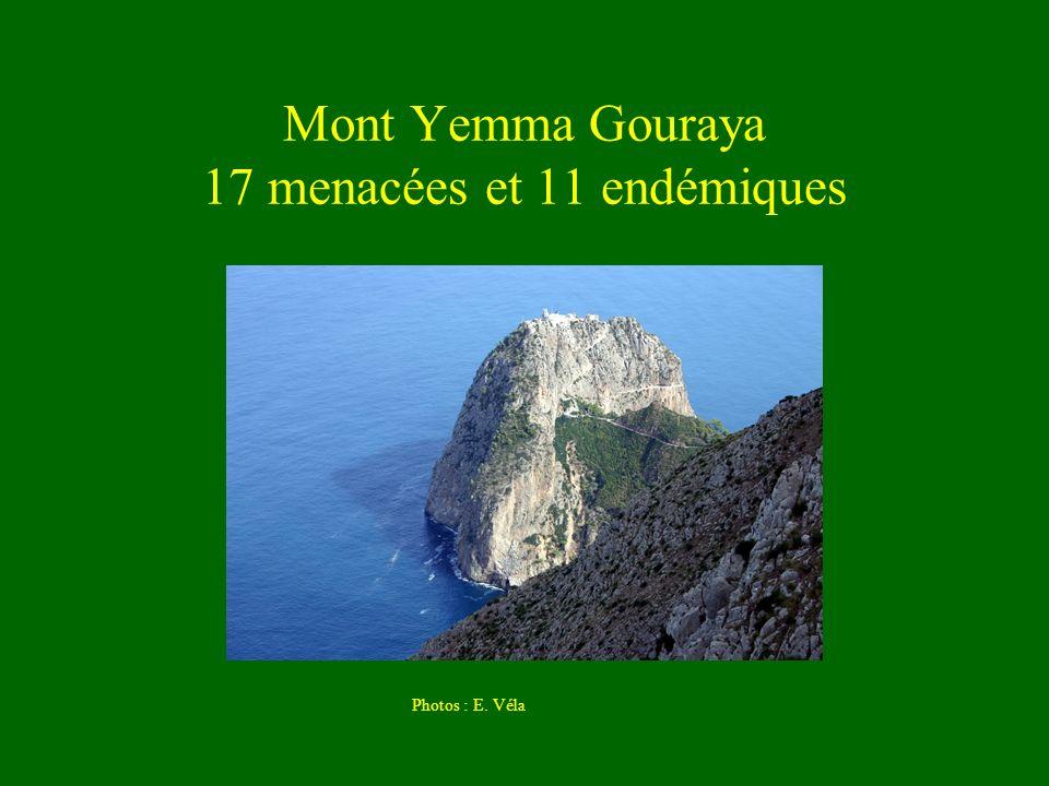 Mont Yemma Gouraya 17 menacées et 11 endémiques Photos : E. Véla