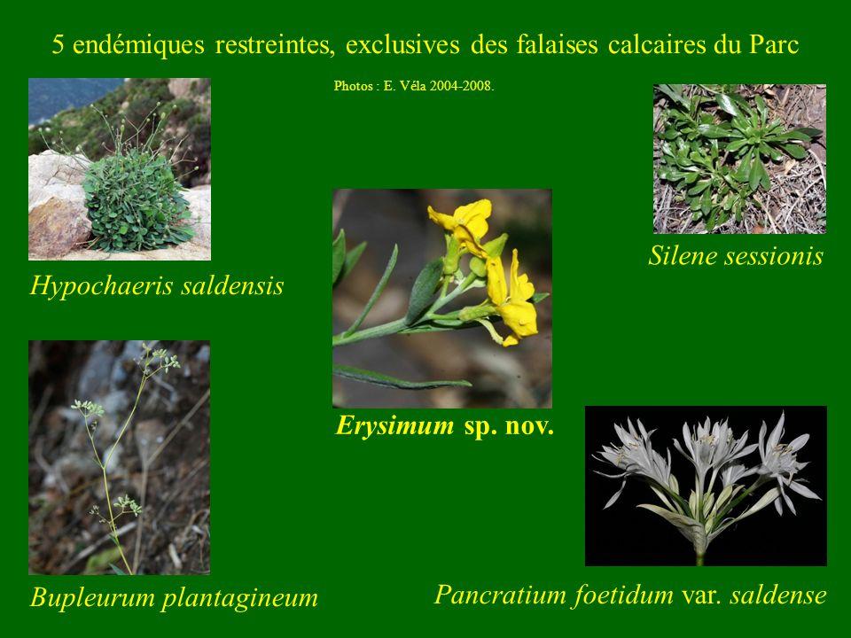 Photos : E. Véla 2004-2008. 5 endémiques restreintes, exclusives des falaises calcaires du Parc Hypochaeris saldensis Bupleurum plantagineum Silene se