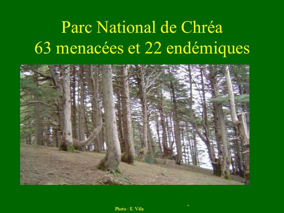Parc National de Chréa 63 menacées et 22 endémiques Photo : E. Véla.